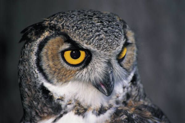 Great Horned Owl Pictures