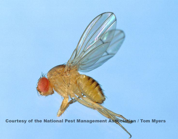 12 Best Flies Images On Pinterest Bugs Fruit Flies And