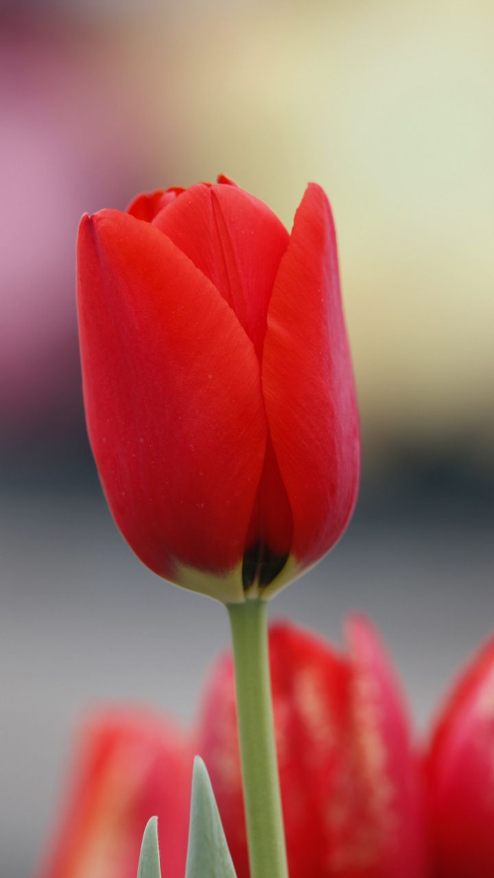 Red Tulip Flowers Bud 720x1280 Wallpaper Red Tulips Tulips Flowers