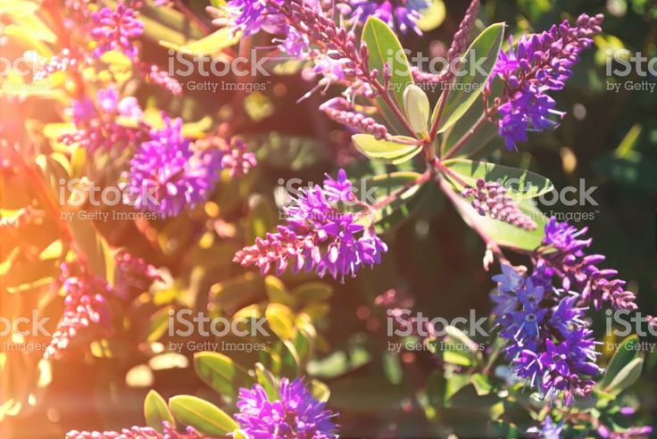 New Zealand Native Hebe in Flower royalty-free stock photo