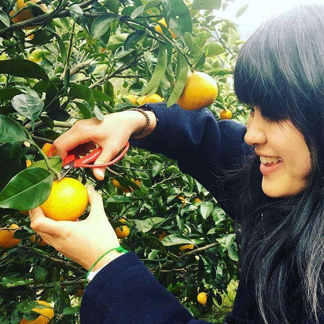 【khaosan_atami】さんのInstagramをピンしています。 《今日みかん狩り行きました! We went to orange picking tour!! #khaosan #khaosanatami #atami #hostel #ryokan #onsen #guesthouse #熱海 #カオサン #カオサン熱海 #ゲストハウス #ホステル #旅館 #温泉 #海 #みかん #宇佐美》