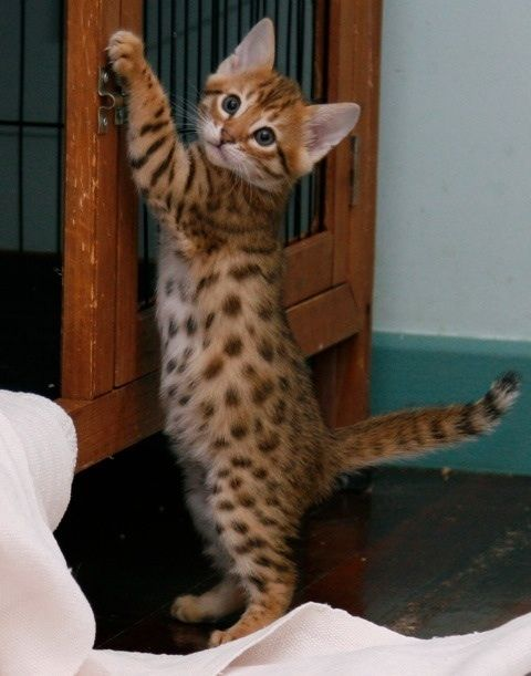 Little Bengal kitten caught breaking out at night - (Nuts, you're supposed to be asleep)