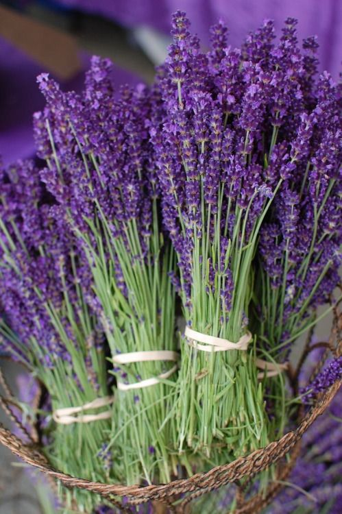Bunches of Fresh Lavender ....