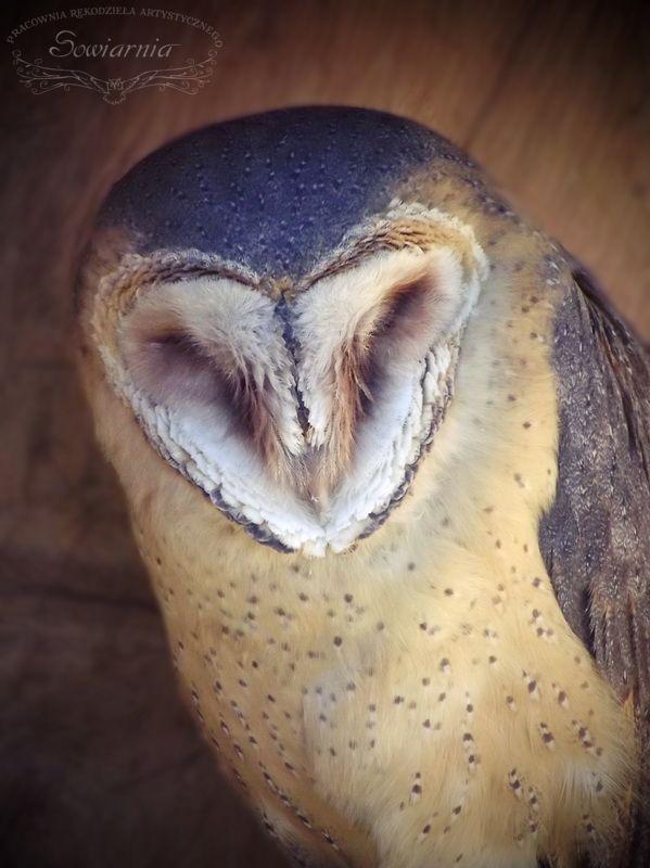 Płomykówka / Barn owl / Tyto alba
