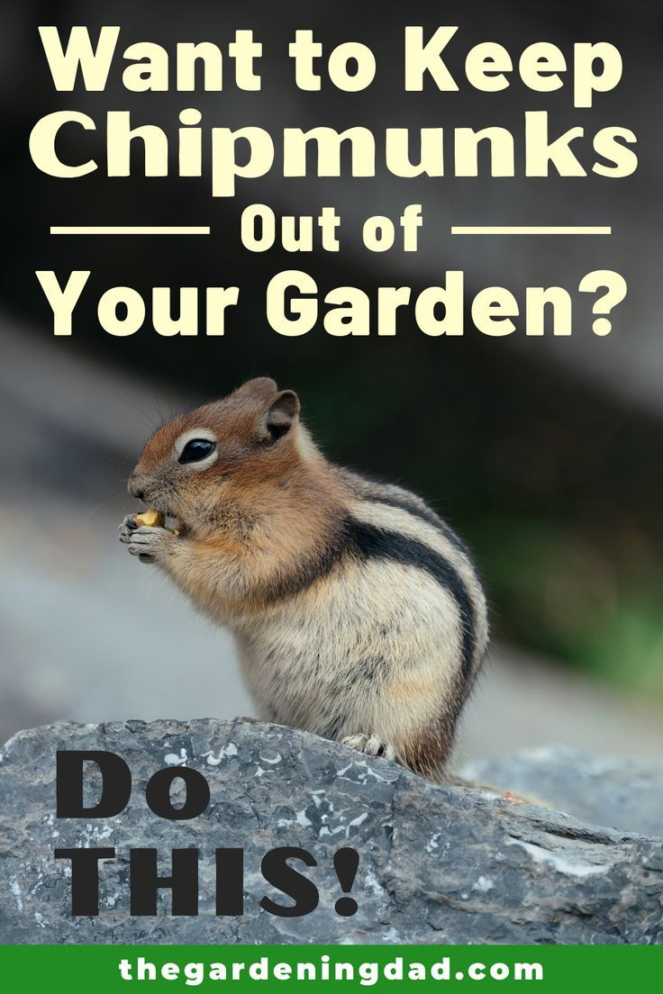 How To Keep Chipmunks Out Of Your Garden 15 Easy Tips The Gardening Dad In 2020 Garden Chipmunks Growing Vegetables