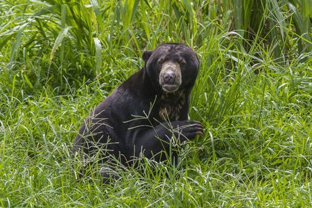 """Balikpapan, East Kalimantan, Indonesia - The Sun Bear (Helarctos malayanus) is a bear found in tropical forest habitats of Southeast Asia. It is classified as """"Vulnerable"""" by IUCN as the large-scale deforestation that has occurred throughout Southeast Asia, especially in the island of Borneo, over the past three decades has dramatically reduced suitable habitat for the sun bear.    - Photo by Emanuele Del Bufalo"""