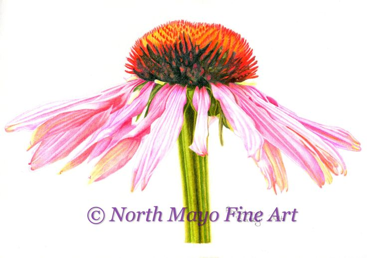 'Pink Daisy' is drawn in coloured pencil