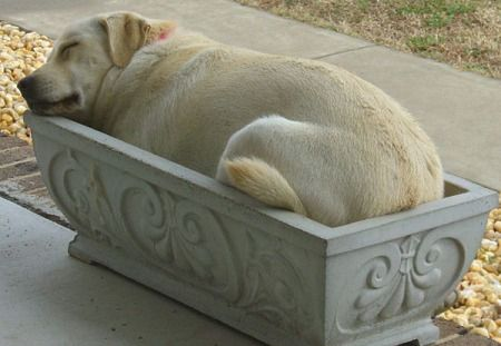 When you plant a dog sapling, make sure your planter can comfortably accommodate the full grown plant.: Sleeping Dogs, Labs, Animals, Sweet, Pet, Puppy, Friend, Yellow Labrador