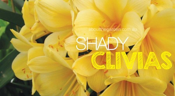 Shade loving Clivias | About The Garden Magazine