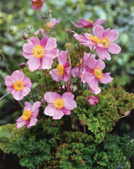 Anemone hupehensis Crispa  40-60СМ   -29 Листва гофрир, кудрявая, очень декоративная.