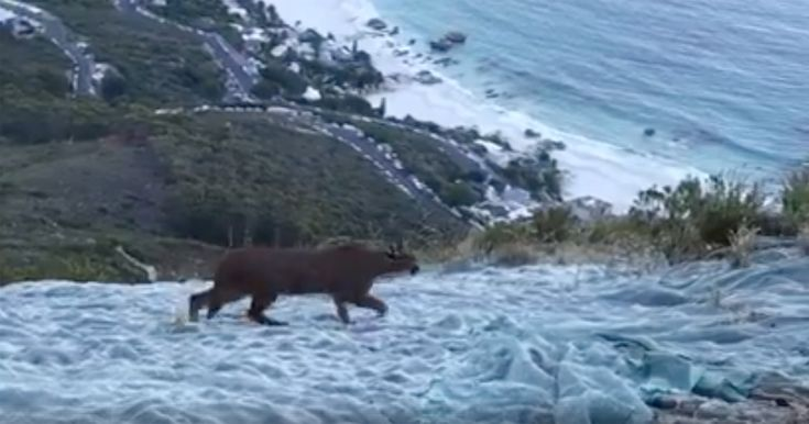 WATCH Rare Sighting of Wild Caracal on Lion's Head, Captured on Film