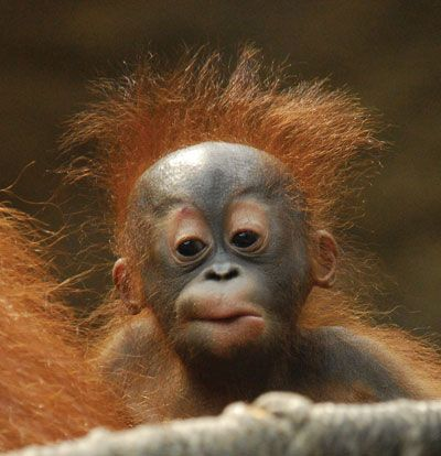 Orangutan-only approx 30 000 left in the wild because of habitat destruction for palm oil.