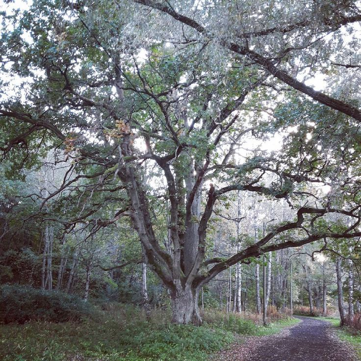 «Моё дерево / My tree #tree #oak #oldtree #park #nature #treeofknowledge #treeofstrength #дерево #дуб #деревосилы #парк #природа #староедерево»