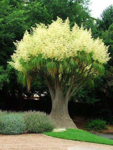 Beaucarnea recurvata , Ponytail Palm in full flower.