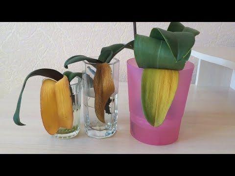 У орхидеи пожелтел лист. Что делать? Почему у орхидеи пожелтели листья? Причины и следствия. - YouTube