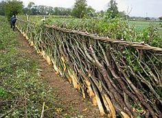 """Traditional British """"Cut and Lay Hedgerow"""" after pruning. These are great traditional forest garden systems of the British Isles, that produce fuel wood, fruit, vegetables and medicinal herbs, as well as fencing and forage. They are also very culturally significant and have both cuisine and customs associated with them."""