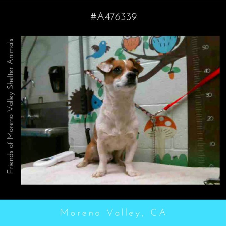 TUCKER #A476339 (Moreno Valley CA) Male tricolor Beagle mix.  I am about 4 years old.  at the shelter since Jul 28 2017  http://ift.tt/2vl5z4d  Moreno Valley Animal Shelter
