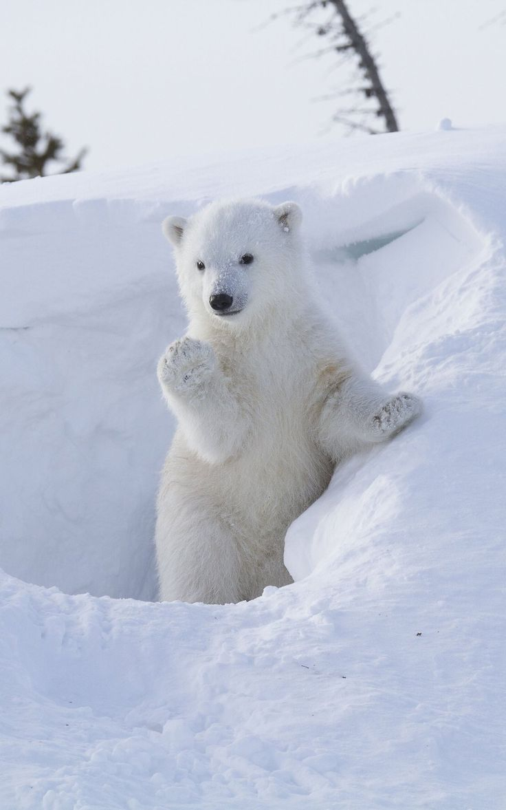 A polar bear cub appears to wave at wildlife photographer Greg Harvey from her den in Wapusky National Park, Manitoba, Canada, in March, 2014.