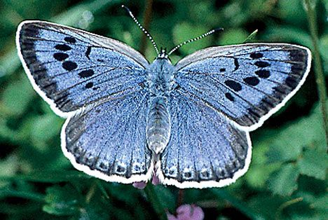 "This is the Large Blue butterfly, which is mentioned on page 16. ""Things most collectors only get a go at once in a lifetime."""