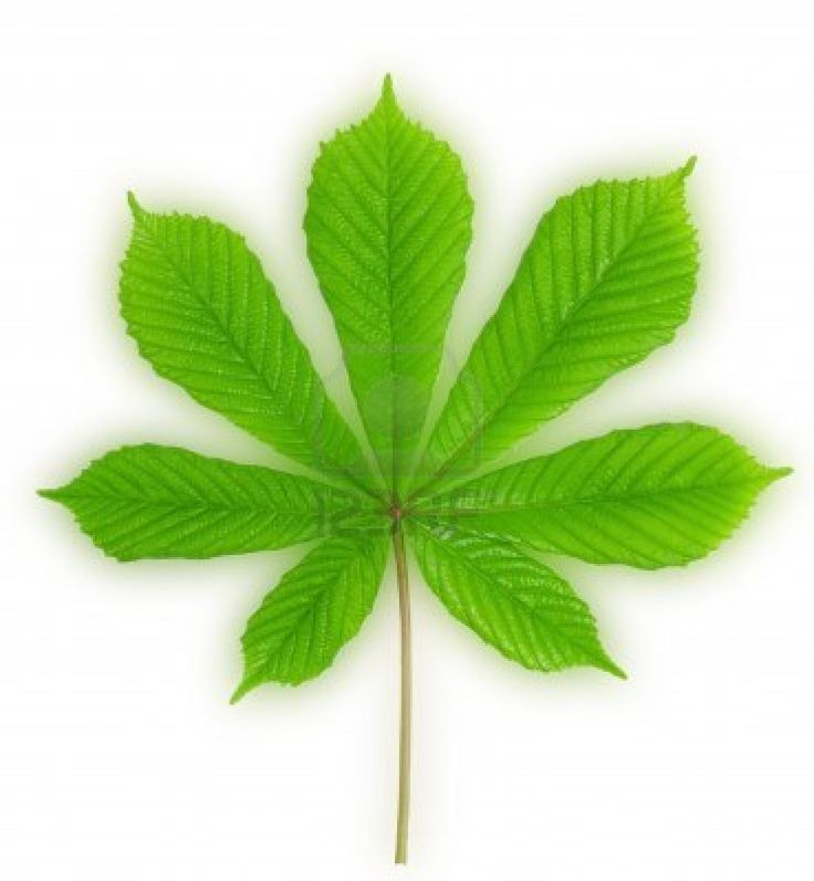 Bright green leaves of chestnut with blurred background Stock Photo - 14122883(http://www.123rf.com 2013)