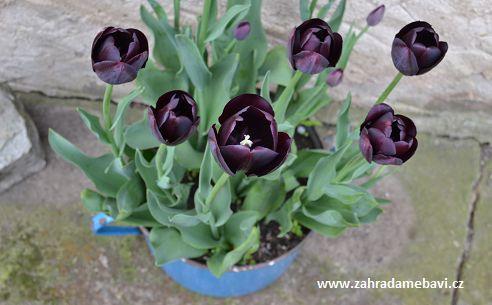 Tulips Queen of the Night in pot