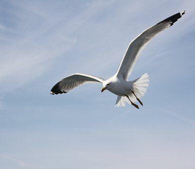 Seagull, Niebo, Niebieski, Ptak