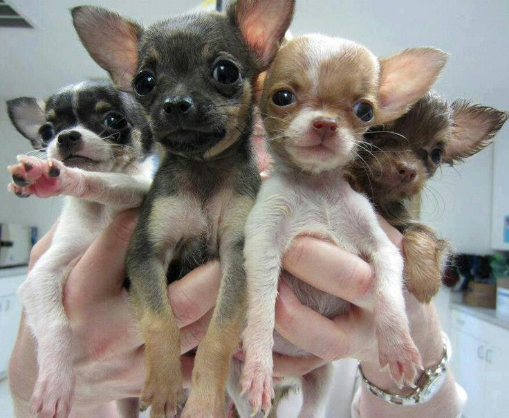 A Handful of Chihuahua!!! Animals Pinterest