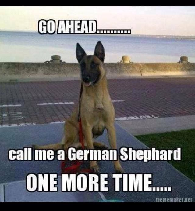 Belgium Malinois. Yup. I hate when people call my dog a GSP
