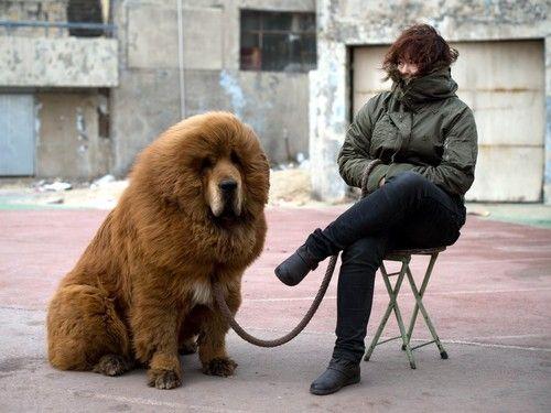 perro mastín tibetano