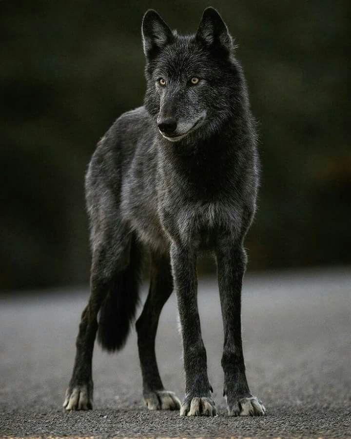 Beautiful black wolf #wolfphotos