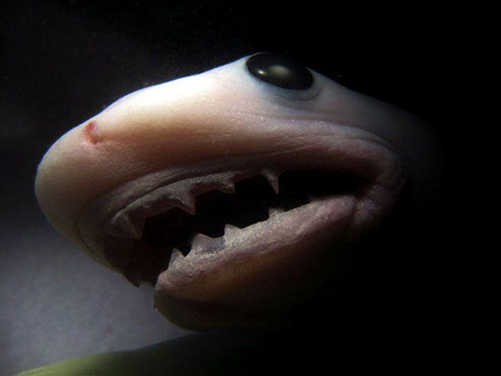 Le requin tigre.  Les femelles mettent leurs enfants au monde entre 10 et 11 mois après avoir été fécondées.
