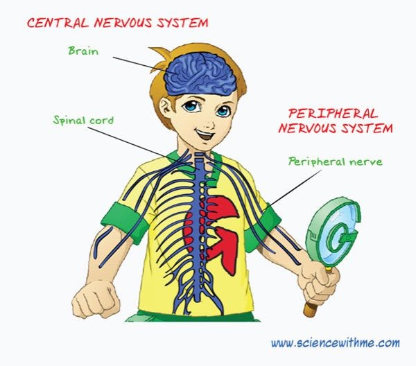 Human nervous system for kids - photo#1
