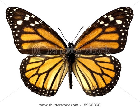 Google Image Result for http://image.shutterstock.com/display_pic_with_logo/56961/56961,1201595684,1/stock-photo-isolated-monarch-butterfly-8966368.jpg