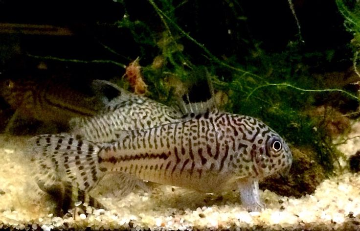 ... + images about corydoras!! on Pinterest Catfish, Fish and Aquarium