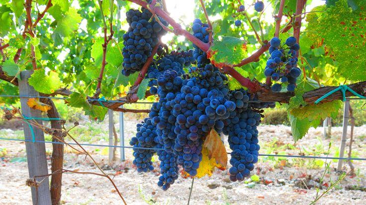 Harvesting our organic Mataro grapes at Pano Arodes village