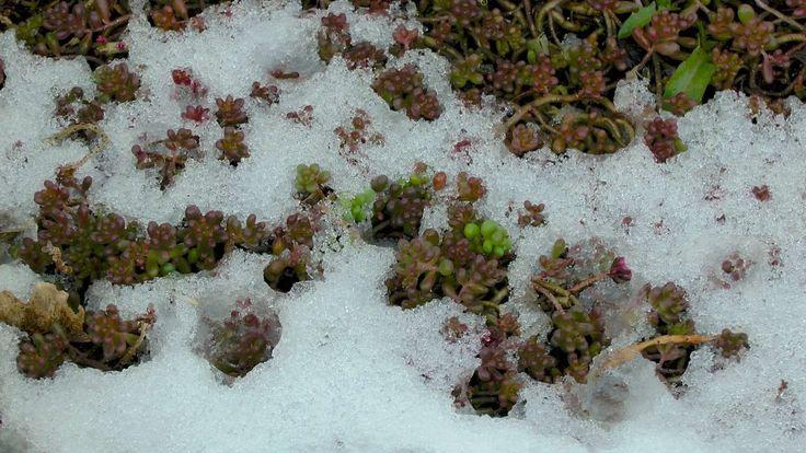 sukkulente-winterhart