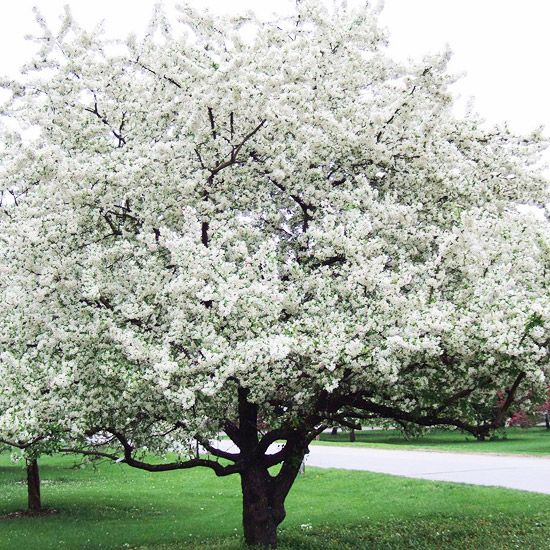 More Great Crabapples For Your Yard Sugar Tyme