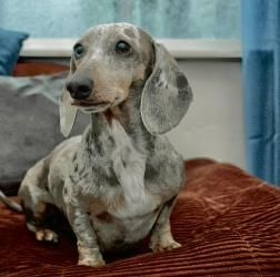 Olive is an adoptable Dachshund Dog in San Diego, CA. Meet Olive! She is a 7 year old blue and tan dapple and is 12 pounds. Sweet little Olive has had a very unfair start in life. She was a 'Puppy Mil...