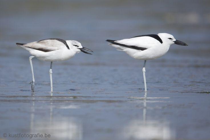 Afrika Azië Krabplevier Geografische categorie & Locaties buiten vlaanderen Vogels Gewervelden Dieren