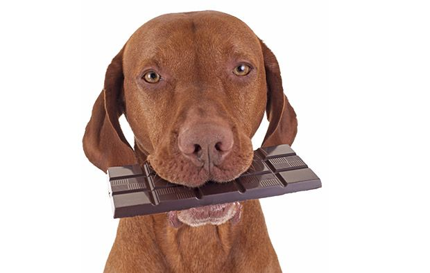 My Dog Ate Chocolate – What Should I Do?