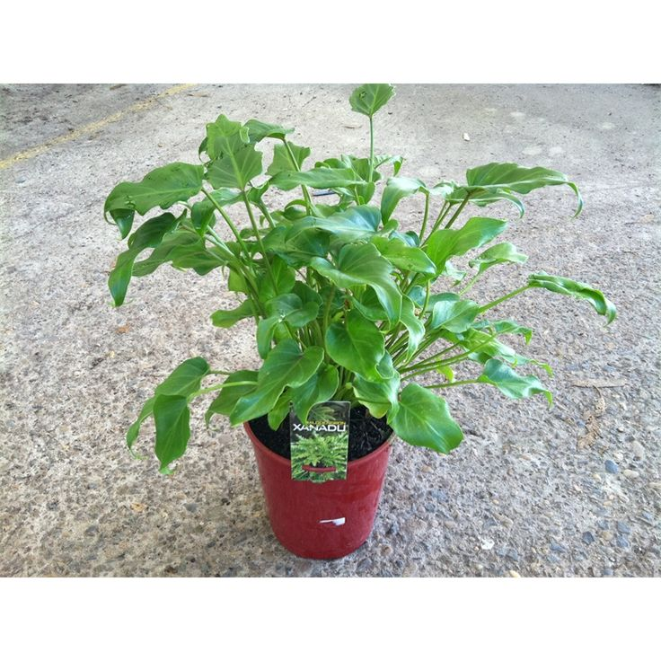 Find 200mm Philodendron at Bunnings Warehouse. Visit your local store for the widest range of garden products.