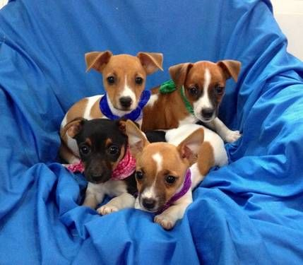Amazing Jack Russell Terrier Puppies