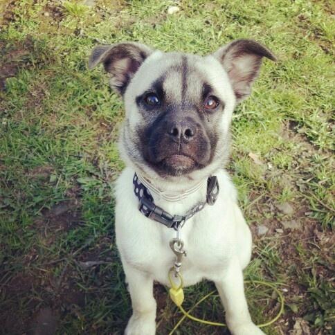 HUG puppy (a husky-pug mix), Penny. (Submitted by AScarem) | PUG MIX