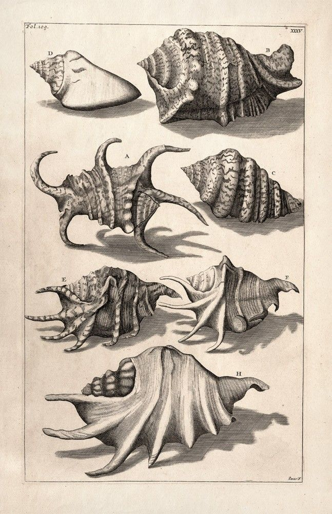 11x17 Vintage Science Plate Poster. Sea shells. Nautilus. Reproduction - 006