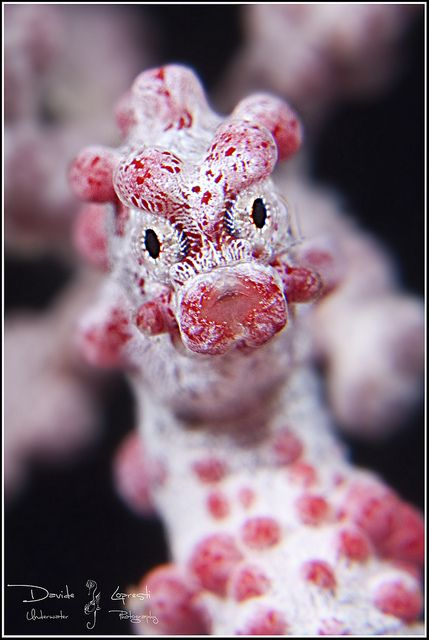 Pygmy seahorse close-up ~ By Davide Dèdè Lopresti                              …