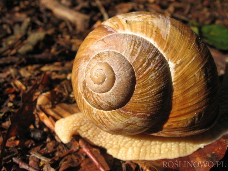 winniczek - snail 2