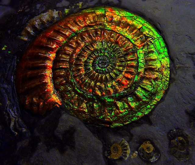 opalized #ammonite #fossil