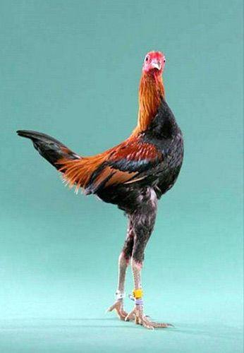 Курица, Курица в домашних условиях, Курица несушка