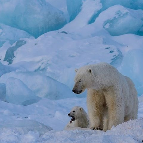 Photograph by @mattiasklumofficial A female polar bear with one of her cubs standing in front of the Nordenskiöld breen, Svalbard, Norway. Go to @mattiasklumofficial to see this relaxed female nursing her cubs right in front of me!  Mother polar bears teach their cubs when and where to get on and off the ice, where to travel safely, and very importantly, how to hunt successfully. I took this photograph right after the female had nursed her cubs. #svalbard #polar #polarbears #arctic…