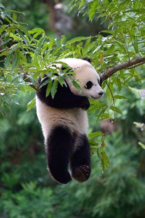 earthyday: Panda © Muhammad Ashraful Alam.... what .-. it's just hanging there :D